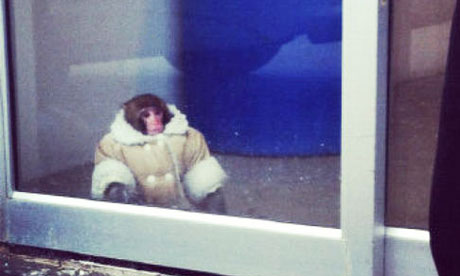 Ikea monkey in Toronto stsore